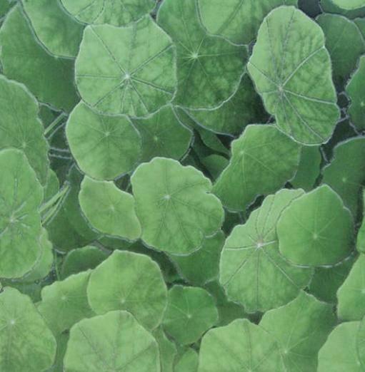 Lotus Estanque Viejo Verde